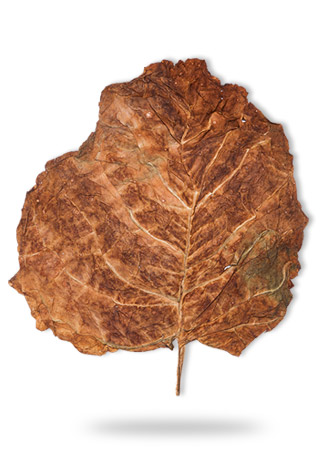 sopariwala_exports_indian_calcutti_leaves_icll_3